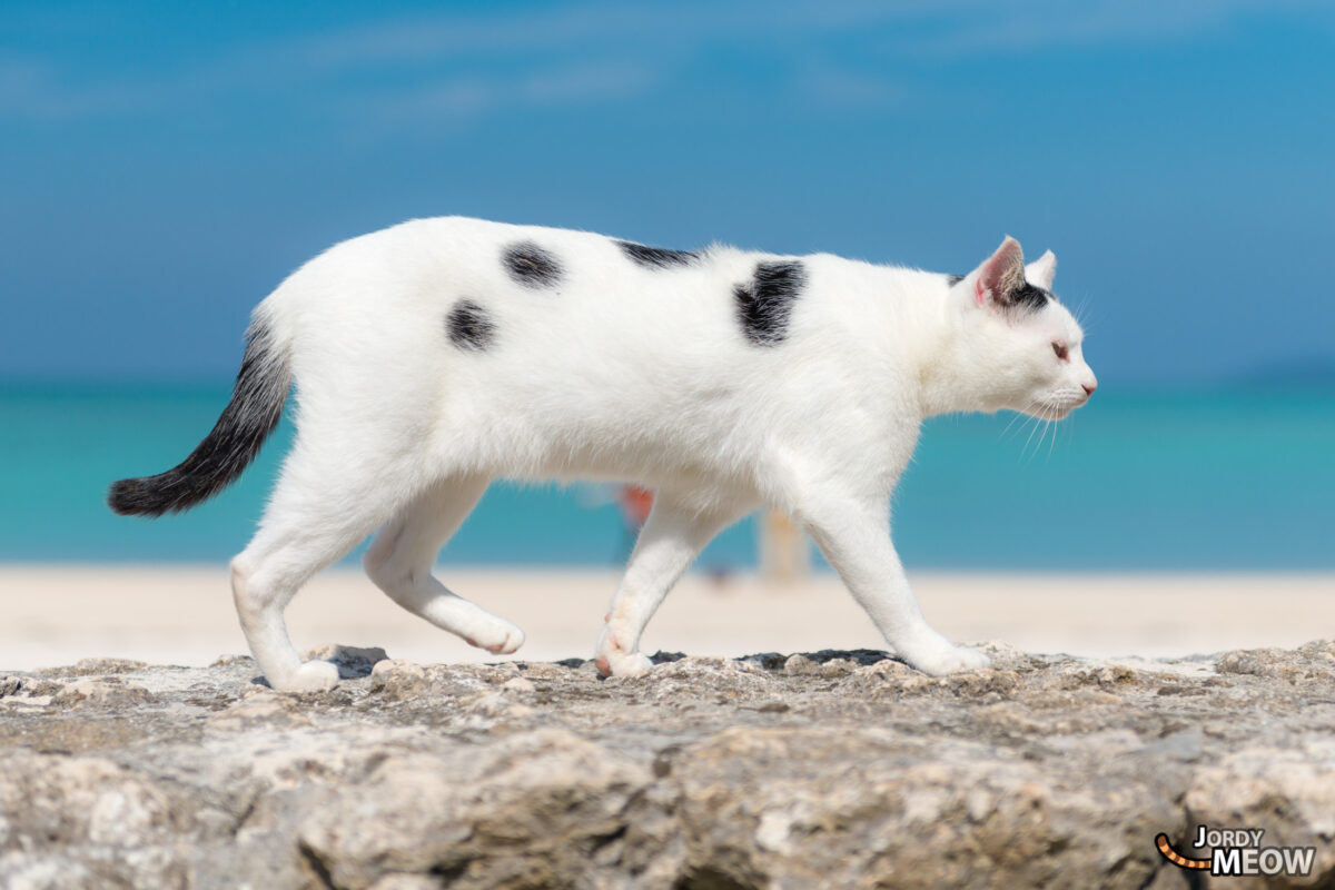 Taketomi Beach Cat