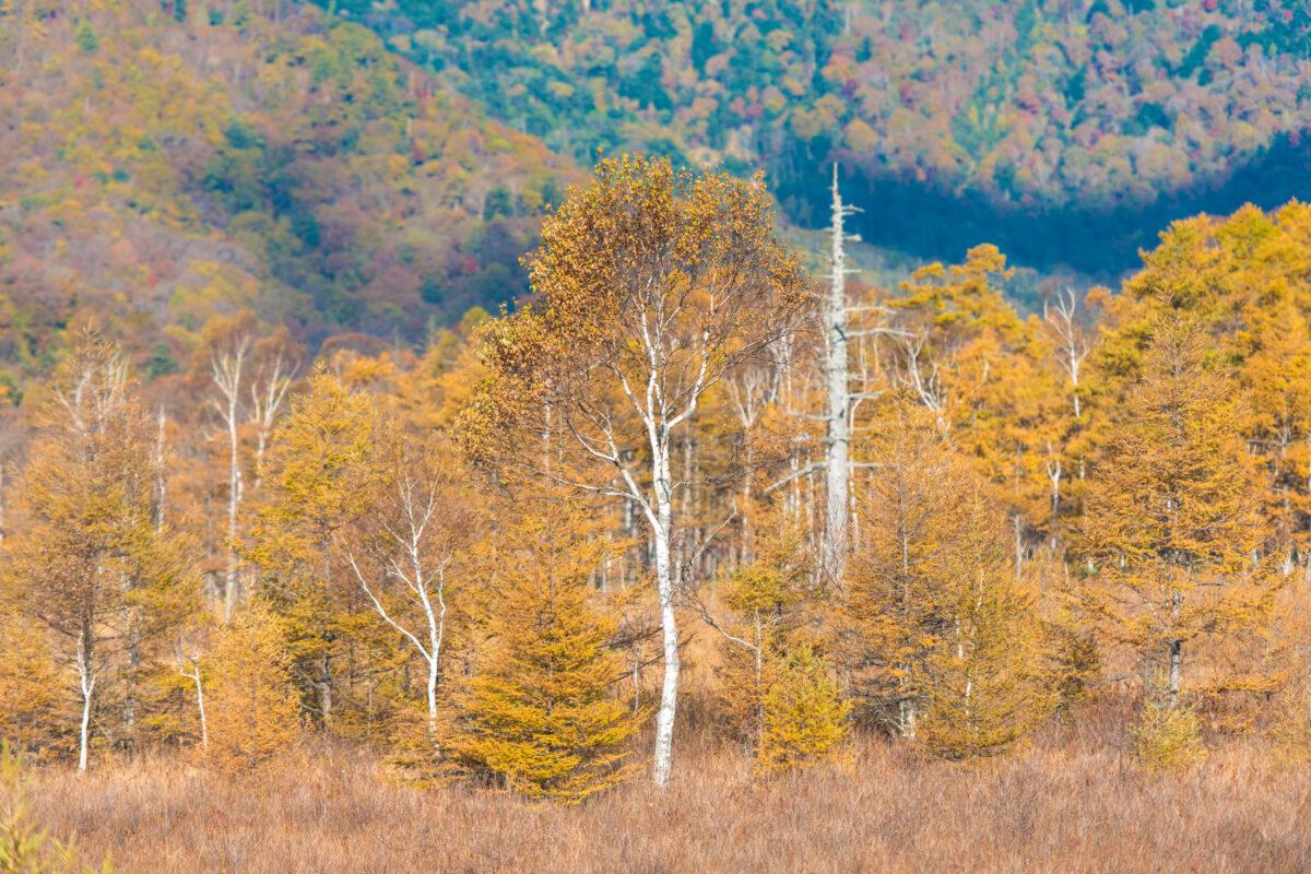Senjogahara Yellow Trees